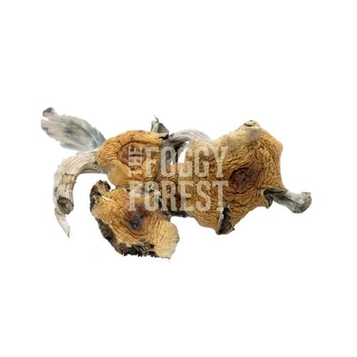 Buy Magic Mushrooms Online Canada (2021 Hot Deals) - Golden Teacher