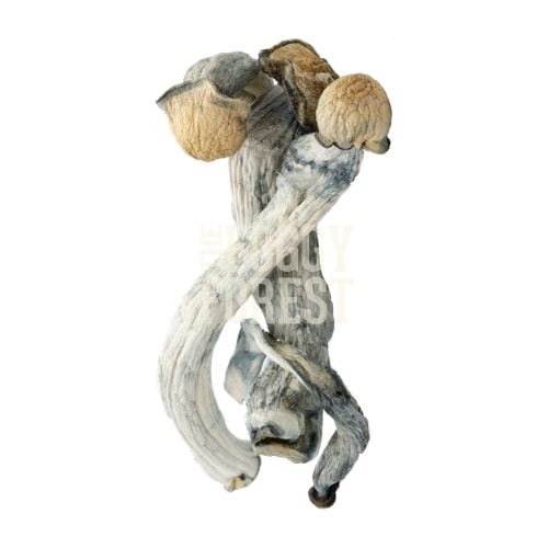 Buy Penis Envy Magic Mushroom Online in Canada - Fast Delivery | The Foggy Forest